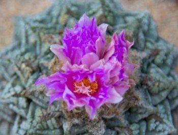 杭州上百岁龟甲牡丹开花
