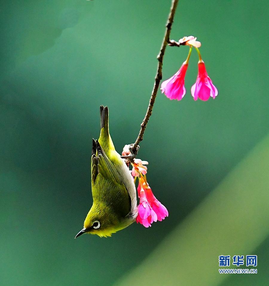 市區內的烏山風景區,一只繡眼鳥在櫻花枝頭采蜜(2月19日攝).
