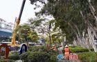 厦门前埔健身公园20米高桉树群截顶修剪 消除安全隐患