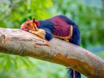 印度现彩色巨型松鼠