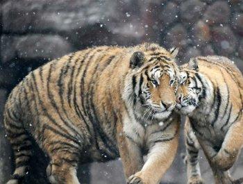 猛虎戏春雪