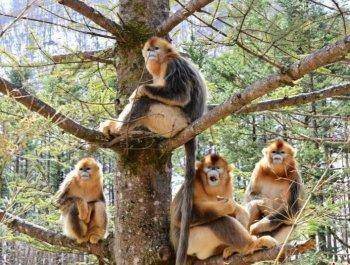 """神農架的樹上""""長""""著金絲猴"""