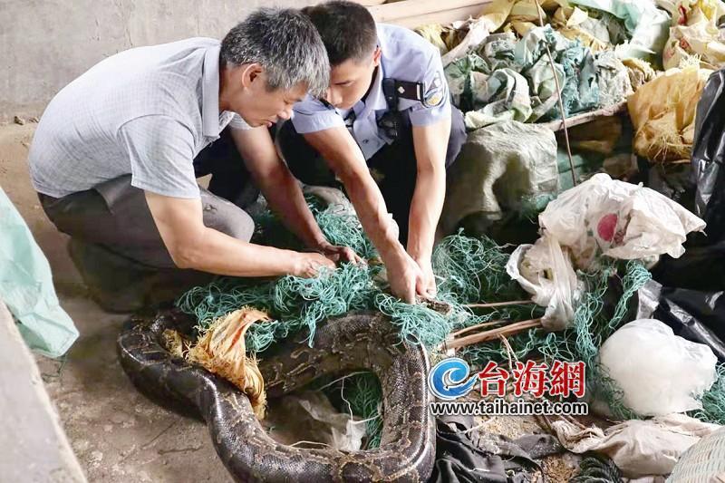 猪圈里,大蟒蛇被塑料网缠住