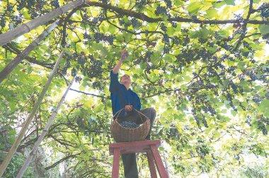 畲族乡丰收的葡萄沟