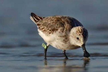 世界瀕危鳥類現身晉江,全球僅661只
