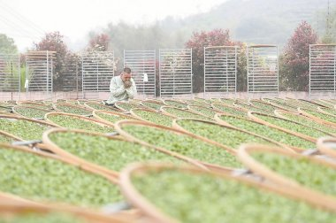 福鼎:茶產業促進鄉村振興
