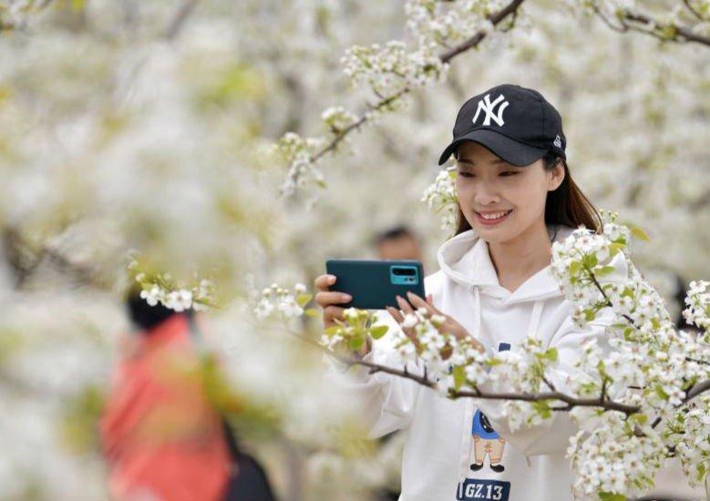 河北迁安:梨花俏 游客笑
