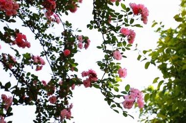 鯉魚溪畔 薔薇花開!